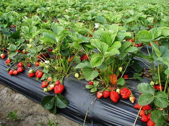 Javni poziv za predaju zahtjeva za dodjelu deset  paketa za proizvodnju jagode uz sufinansiranje projekta